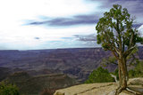 A Cedar Tree clutches the precipice of the Grand Canyon on a overcast day.